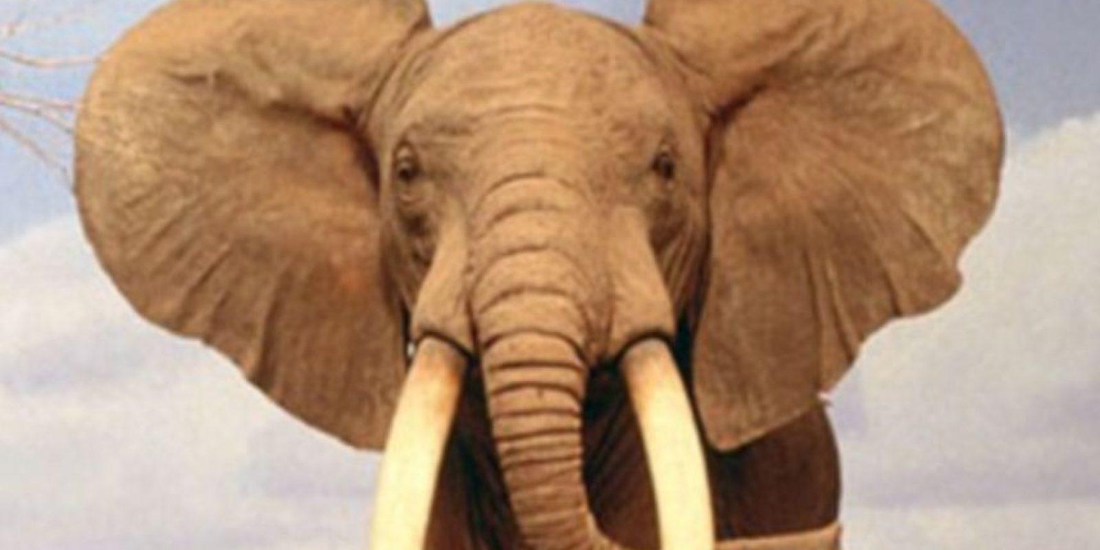 Los colmillos de los elefantes pueden atravesarlos, sus patas aplastar sus órganos internos. Por eso los usaban en la guerra. Foto:vía Wikipedia