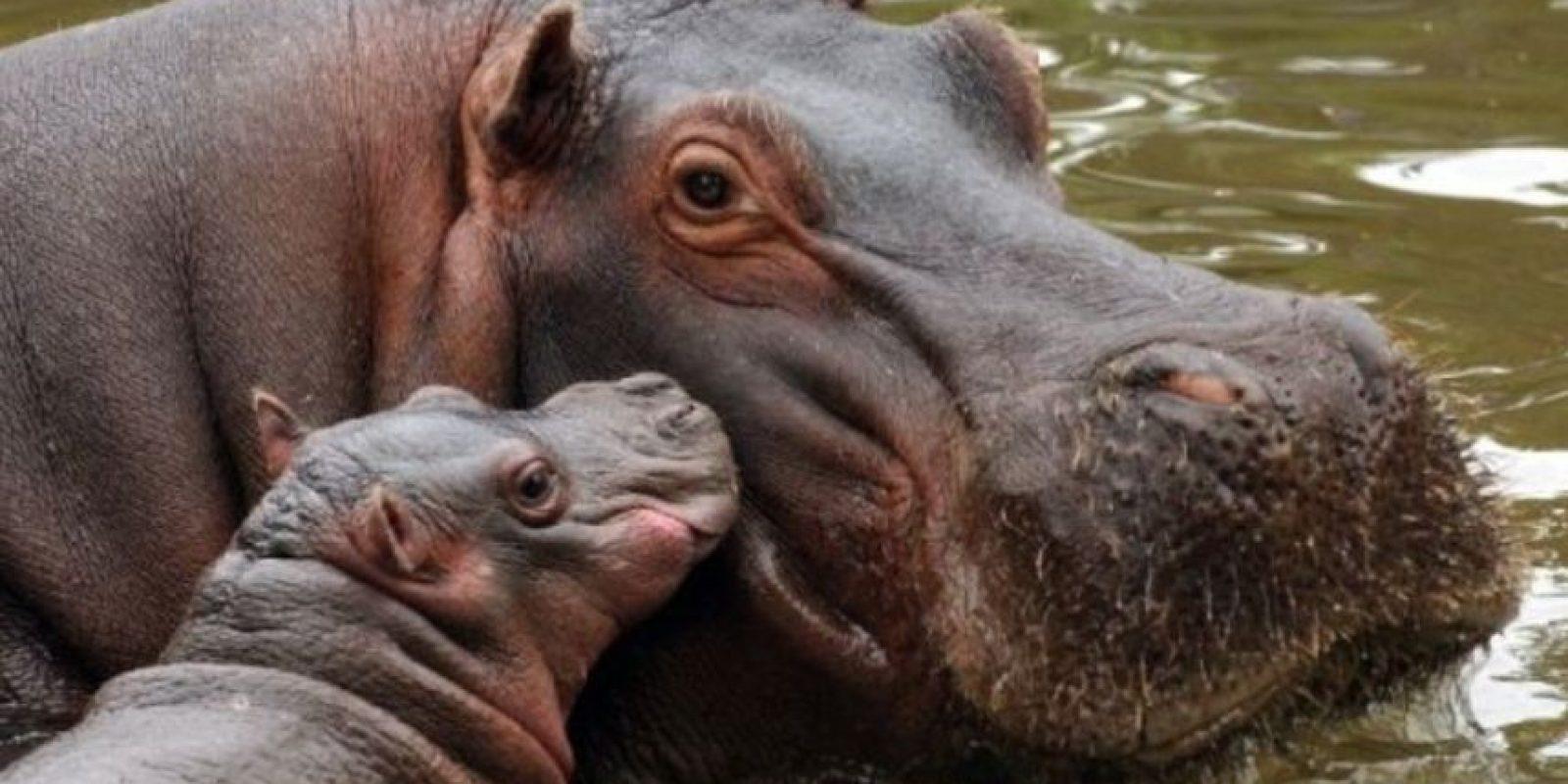 Los hipopótamos pueden golpear, morder y aplastar hasta causar la muerte. Foto:vía Wikipedia