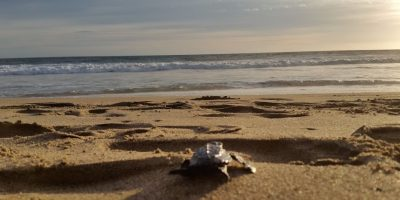 Liberación de tortugas. Foto:Erika Padrón