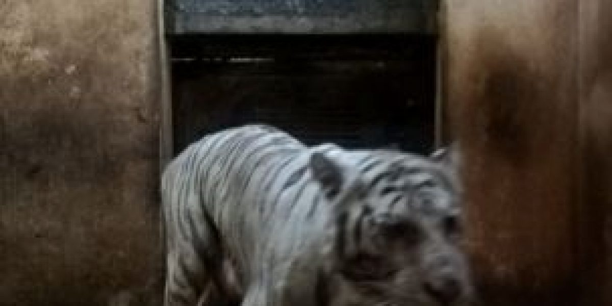 Muerte de Shakira, tigresa blanca de Yumká, indigna en redes