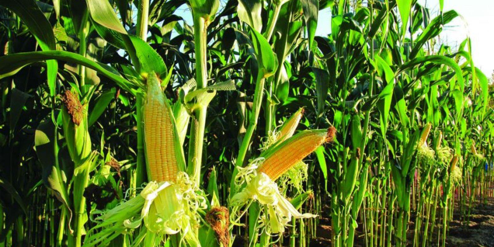No hay diferencia entre los alimentos convencionales y los modificados genéticamente. Foto:Especial