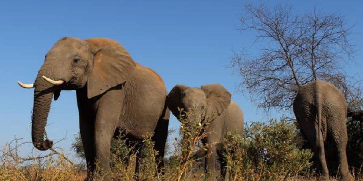 Elefantes podrían desaparecer de reserva en África
