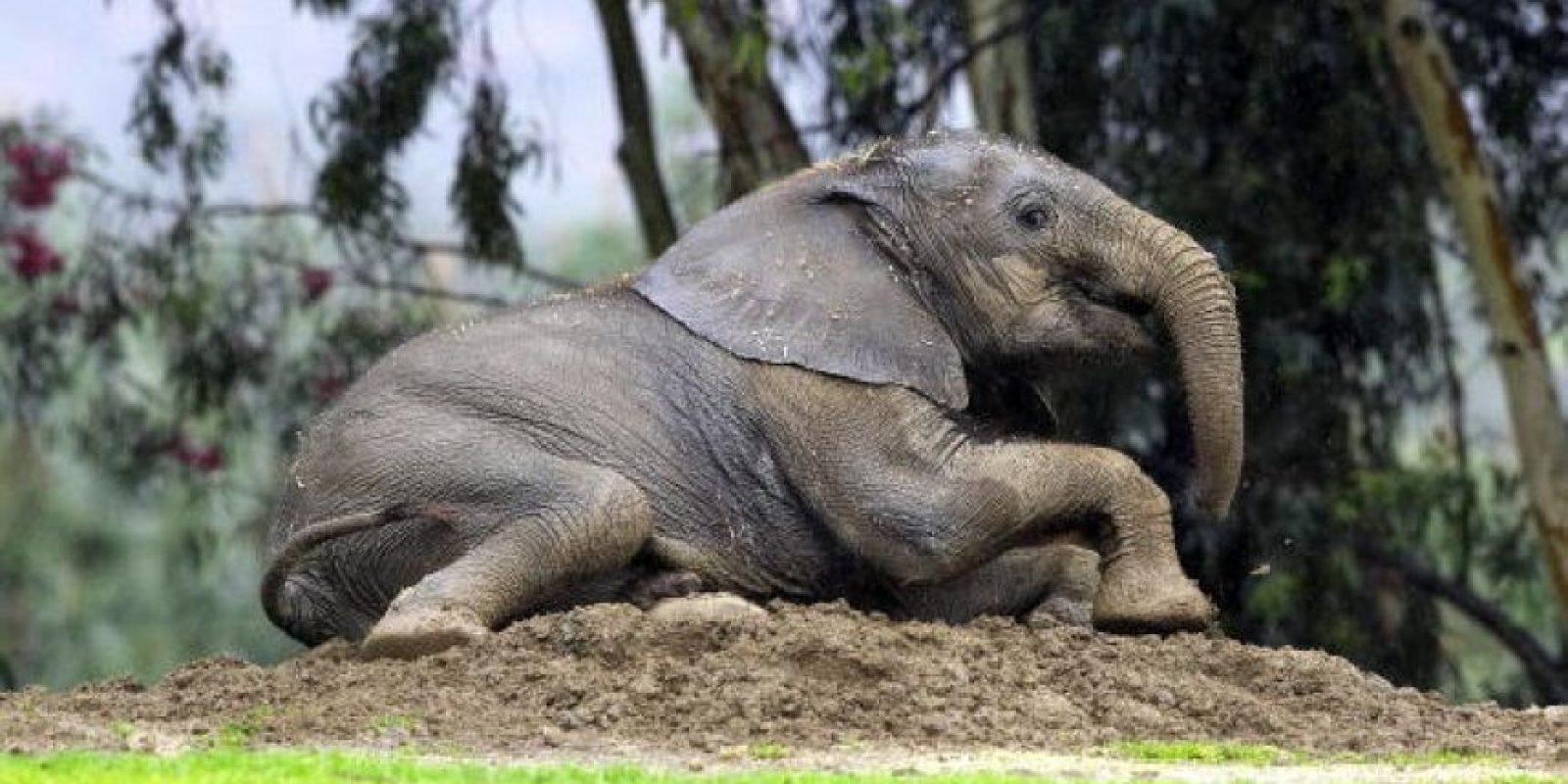 En un ambiente natural alcanzan a vivir entre 40 y 50 años. Foto:Getty Images