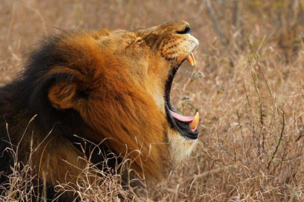 El león es un mamífero que alcanza a vivir entre 10 y 14 años cuando se encuentran en libertad. Foto:Getty Images