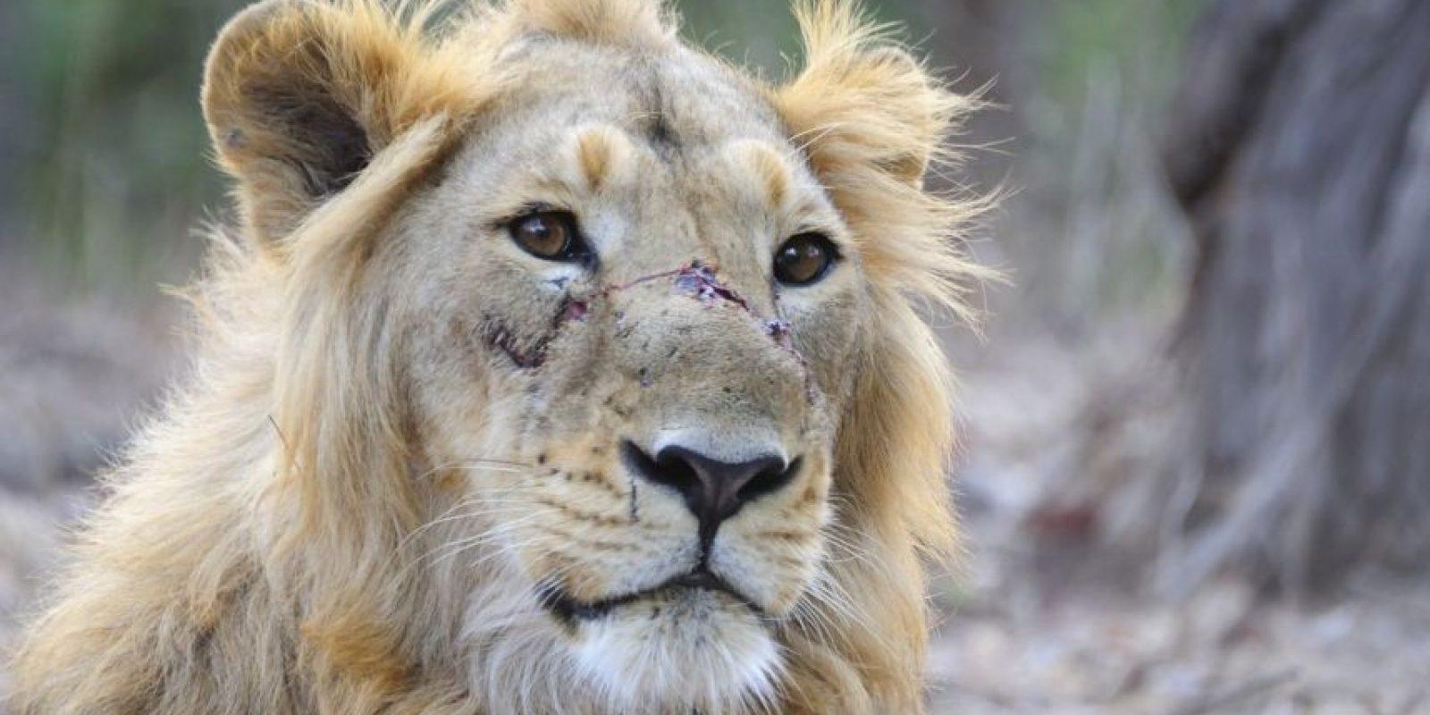 Donde se estima que existen cerca de mil leones en todo el mundo Foto:Wikimedia