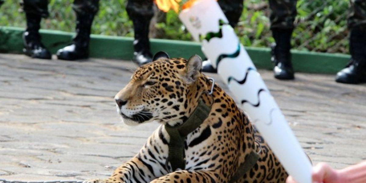 Sacrifican a jaguar tras evento con la Antorcha Olímpica en Brasil