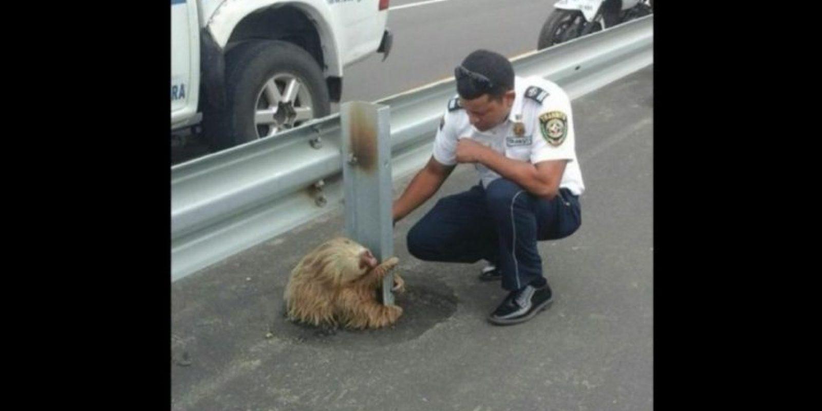 El pasado 22 de enero, un oso perezoso intentó cruzar por una autopista, en la provincia de Los Ríos, Ecuador. Foto:facebook.com/ctecuador