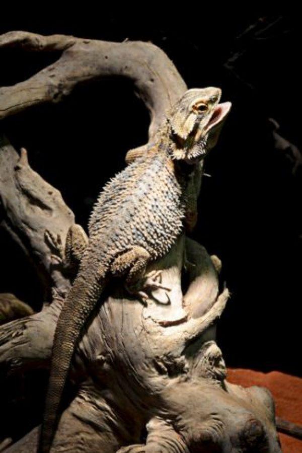 El nombre científico del dragón barbudo es Pogona vitticeps Foto:Creative Commons