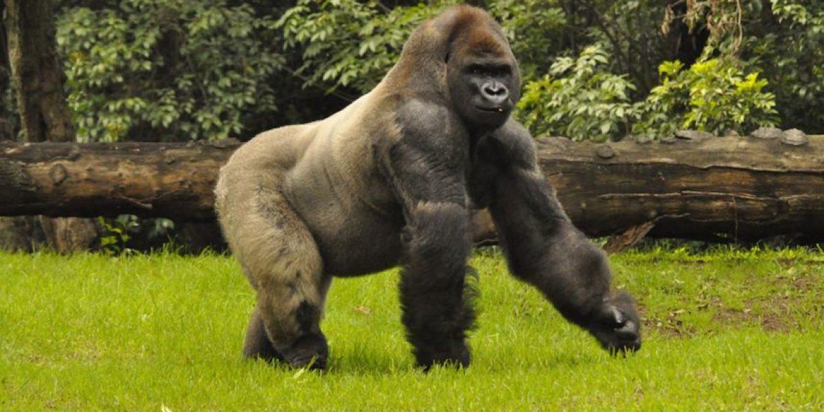 Los nueve datos que debes saber del gorila Bantú