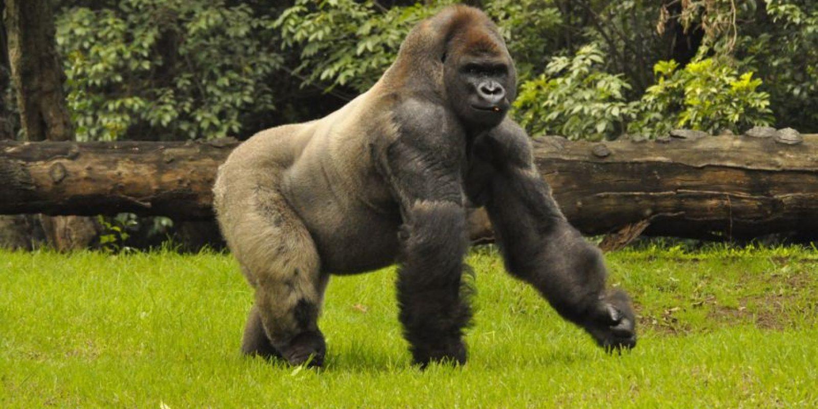Era el único gorila macho de un total de cuatro ejemplares en nuestro país. Foto:Cuartoscuro