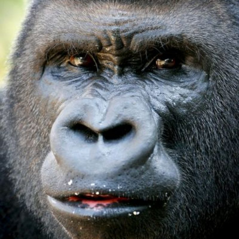 Las fotografías muestra el cuerpo del primate decapitado y desmembrado. Foto:AP