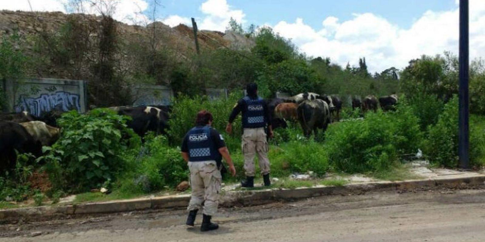 En la Avenida La Turba y Heberto Castillo ubicaron al grupo de vacas Foto:@SSP_CDMX