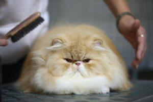 El cuidado del pelaje (cepillado), garras, ojos, oídos y dientes son acciones simples que contribuyen a que el gato tenga bienestar y salud Foto:Getty Images