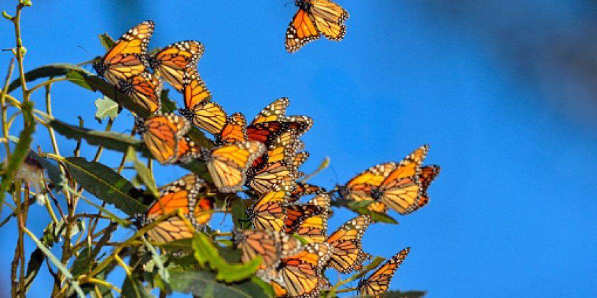 Refuerzan plan de reserva de la biosfera de la mariposa monarca