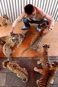 1. Son los felinos más grandes, llegan a pesar hasta 370 kilos Foto:Getty Images