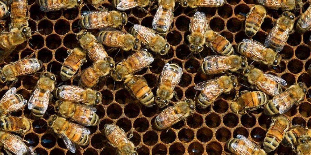 Hospital en Gran Bretaña, el hogar de más de 100 mil abejas