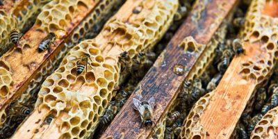 Imagen de archivo para ilustrar no corresponde al evento. Las colmenas de abejas están constituidas por las obreras, los zánganos y la abeja reina. Foto:Getty Images/ Archivo
