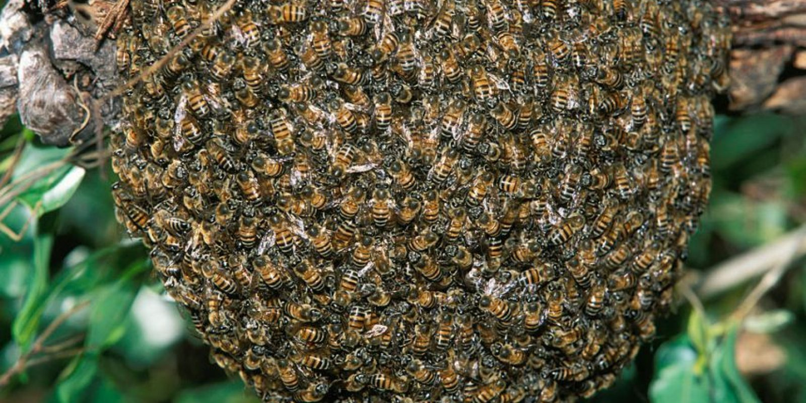 Imagen de archivo para ilustrar no corresponde al evento. Las abejas que vemos por las calle o parques suelen ser las obreras, las cuales son la parte más numerosa de la colonia. Foto:Getty Images/ Archivo