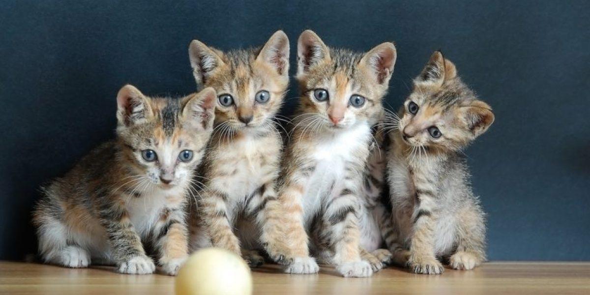 ¿Tienes un gato?, conoce estos mitos sobre tu mascota
