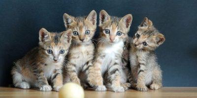 Los gatos se han vuelto muy populares como animales de compañía. Foto:Dreamstime
