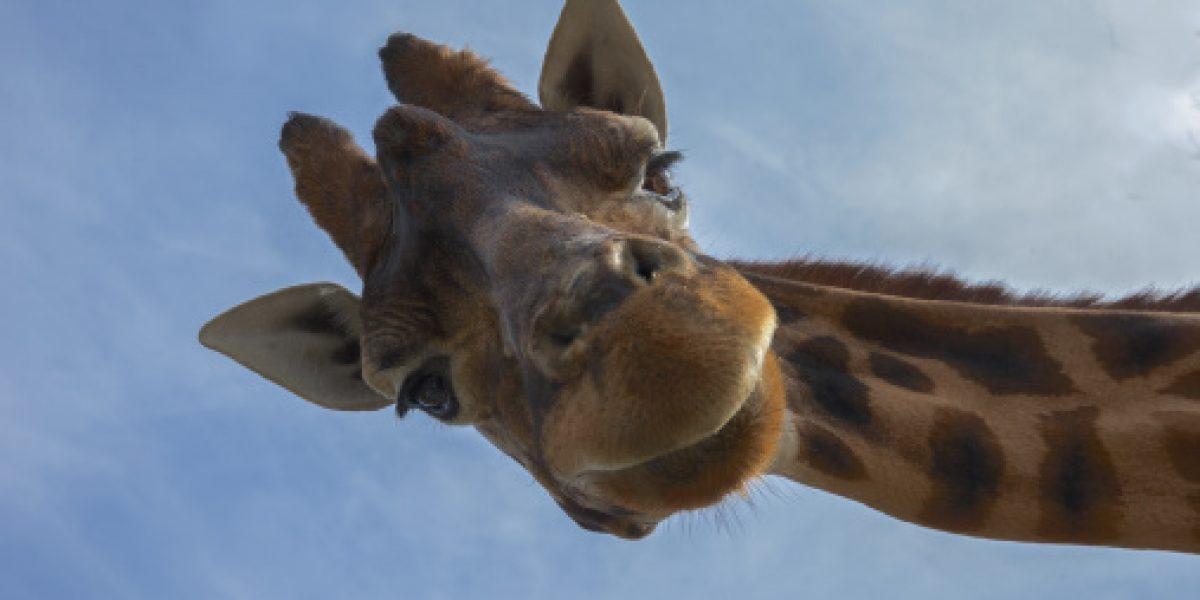 ¡Alerta! las jirafas podrían estar en peligro de extinción, según IUCN