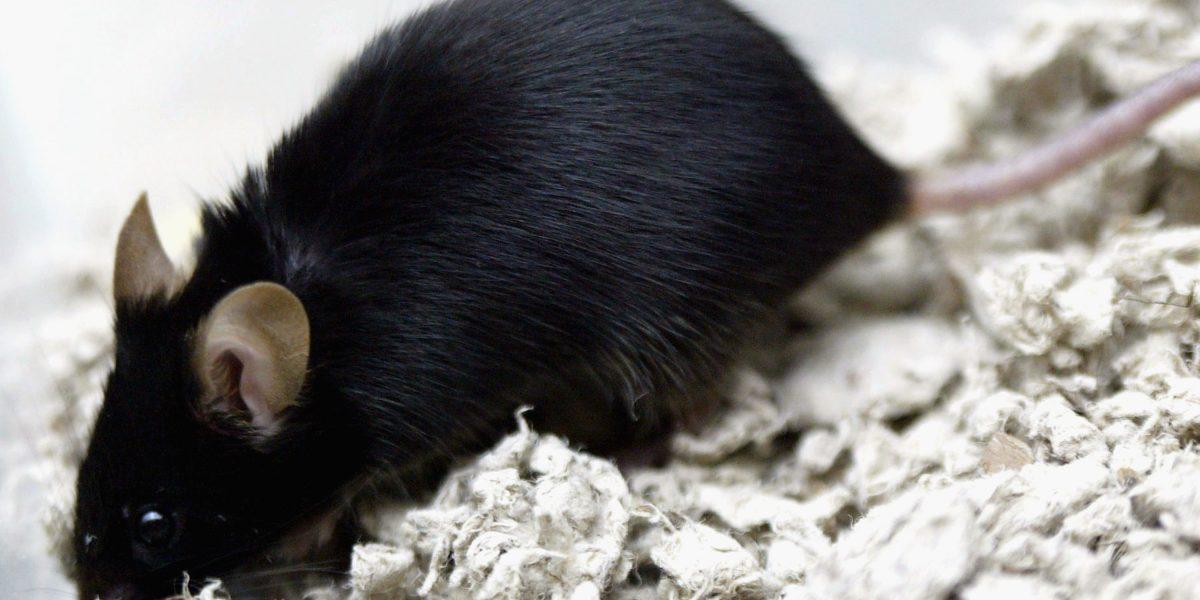 Reprogramación celular: el proceso que alarga la juventud en ratones