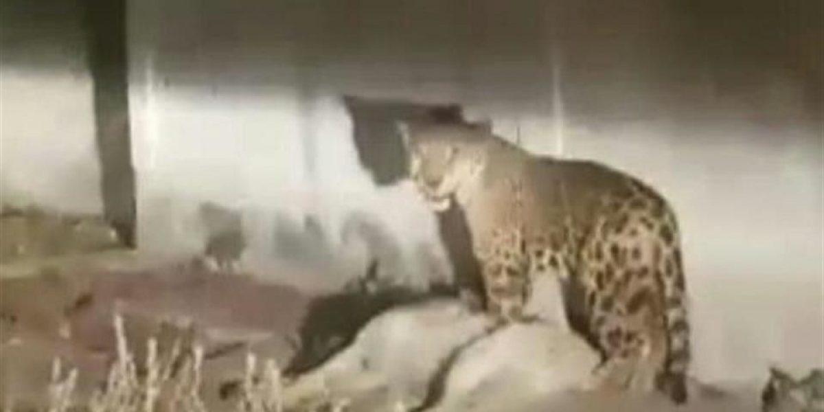 Policía sacrifica a jaguar que atacó a un perro en la calle
