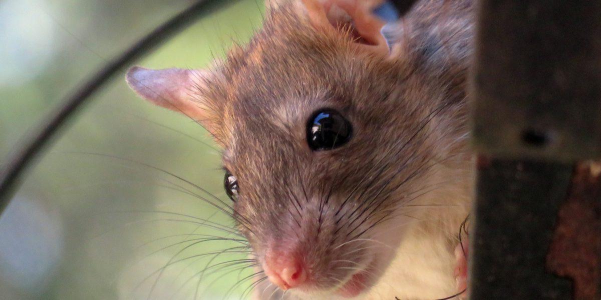 Bebé fue comida viva por ratas mientras su madre estaba de fiesta