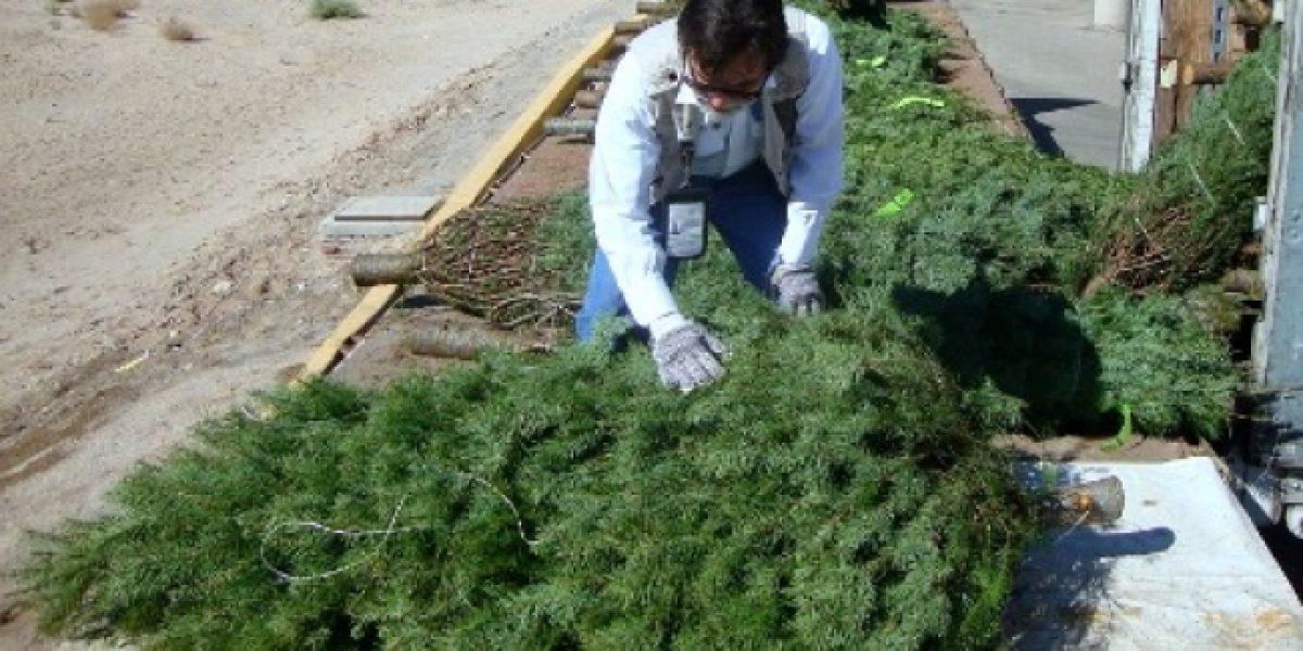 Profepa inspecciona más de siete mil árboles de navidad por plagas