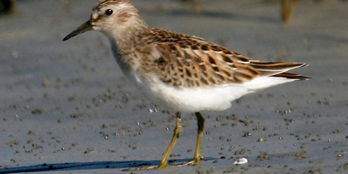 El ave que viaja hasta 13 mil kilómetros para poder aparearse
