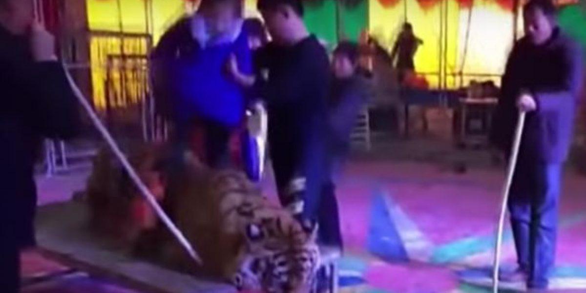 VIDEO: Amarran a tigre en circo chino para que visitantes se tomen fotos