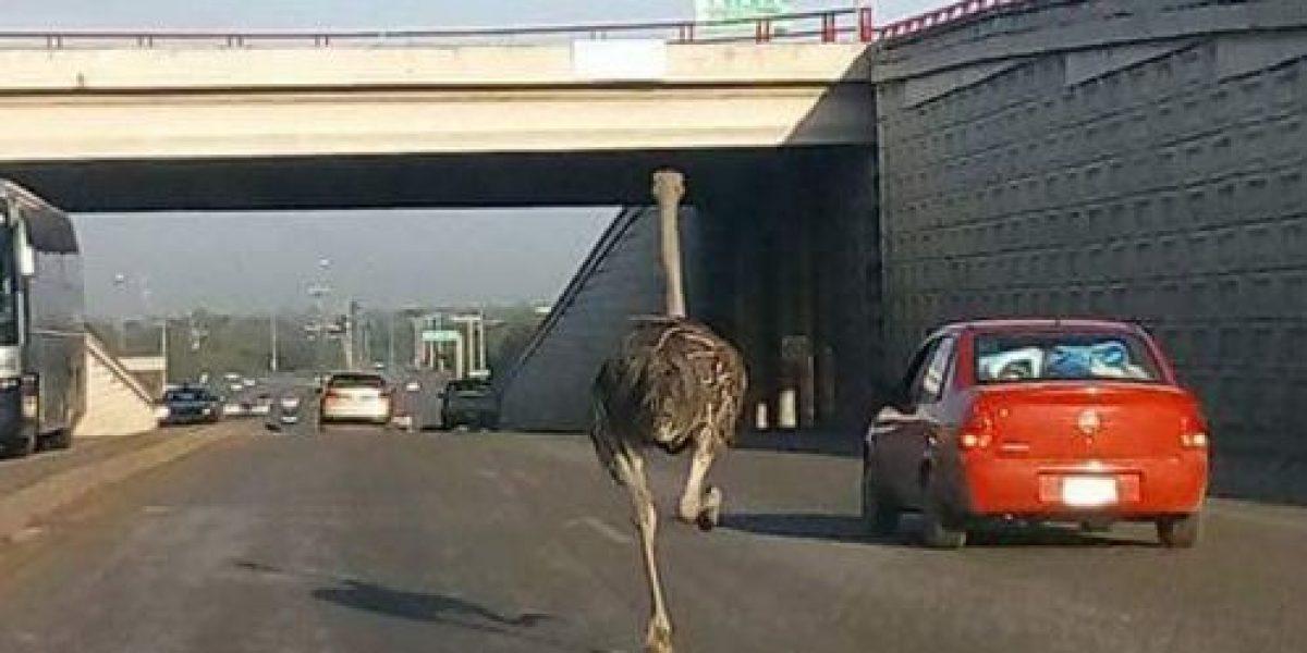 VIDEO: Avestruz fugitiva escapa y pasea en calles de Tamaulipas