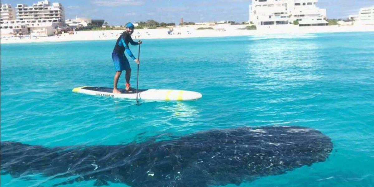 Avistan gran tiburón ballena en playas de Cancún
