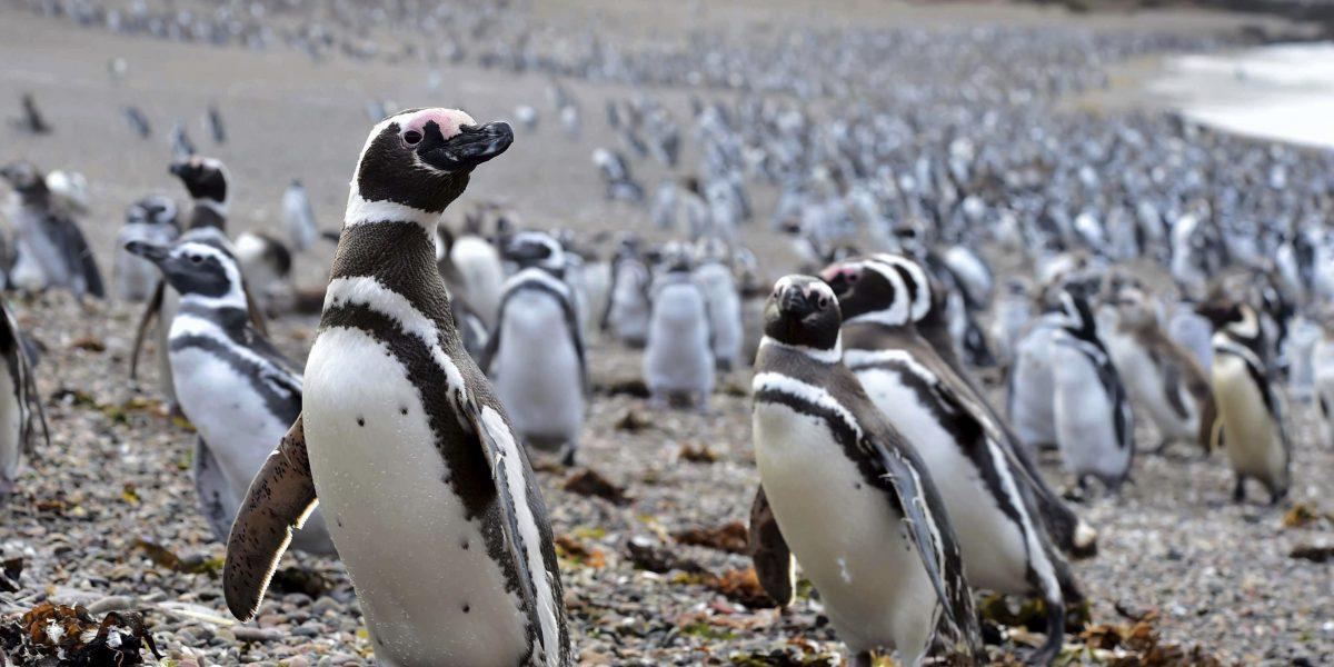 Pingüinos de Magallanes llegan a playas de Argentina