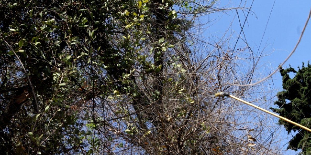 Plaga de muérdago afecta al 20% de los árboles en la CDMX