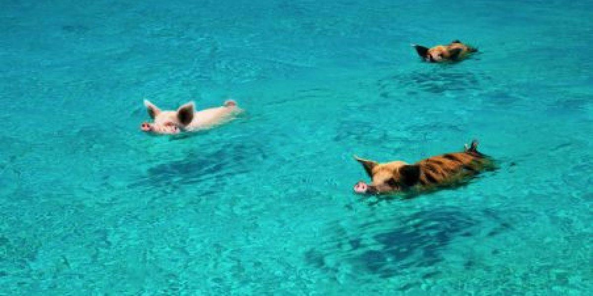 Mueren cerdos nadadores porque les dieron a beber ron