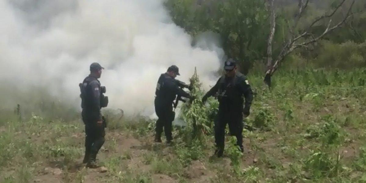 PGR destruye 240 mil pantas de marihuana en Oaxaca