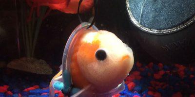 Esperanza para un pez que recibió una 'silla de ruedas'