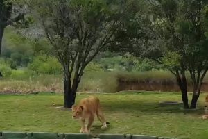 Video: Leona intenta atacar a visitantes de un zoológico