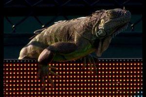 FOTO: Tenista se toma selfie con iguana que se coló al partido