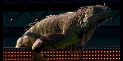 Una iguana interrumpió un partido en el Miami Open
