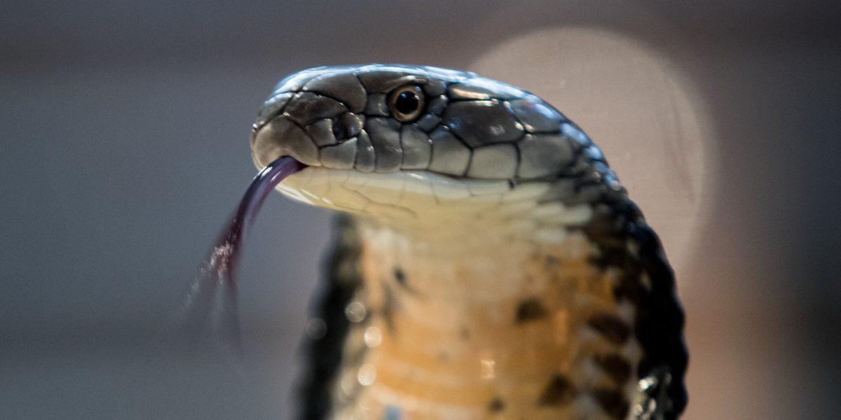 Se tomó una foto junto a una cobra, lo mordió y murió más tarde