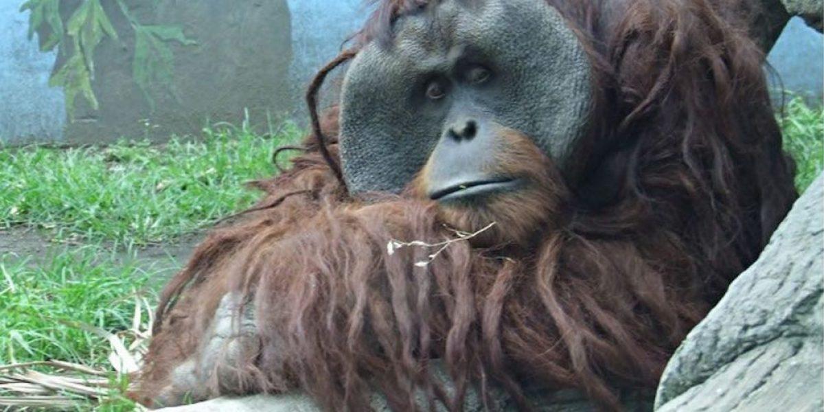 Otorgan amparo a Proyecto Gran Simio para investigar muerte del orangután Jambi