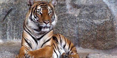 Alarma reporte de tigres sueltos en barrios de Nuevo León