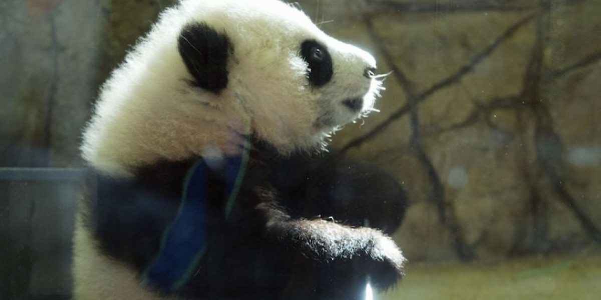 Panda debuta en el zoológico de Washington DC