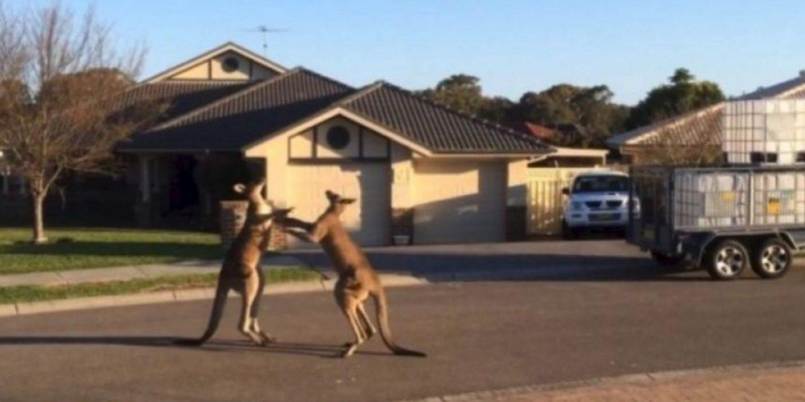 Un pareja de canguros fueron grabados mientras sostenían una insólita pelea callejera en el estado de Nueva Gales del Sur, en Australia Foto:YouTube-Archivo. Imagen Por: