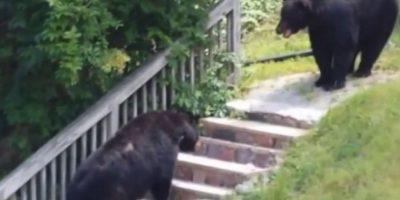 En octubre de 2014 se grabó una pelea entre dos osos negros en Nueva Jersey, Estados Unidos Foto:YouTube-Archivo. Imagen Por: