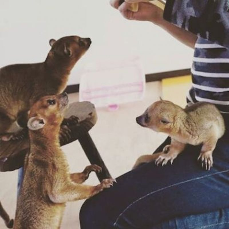 Es un mamífero carnívoro Foto:Instagram.com/tag/search/kinkanjou. Imagen Por: