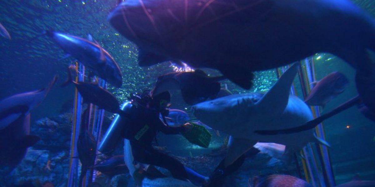 Video: Tiburón hembra devoró a macho de su especie porque la