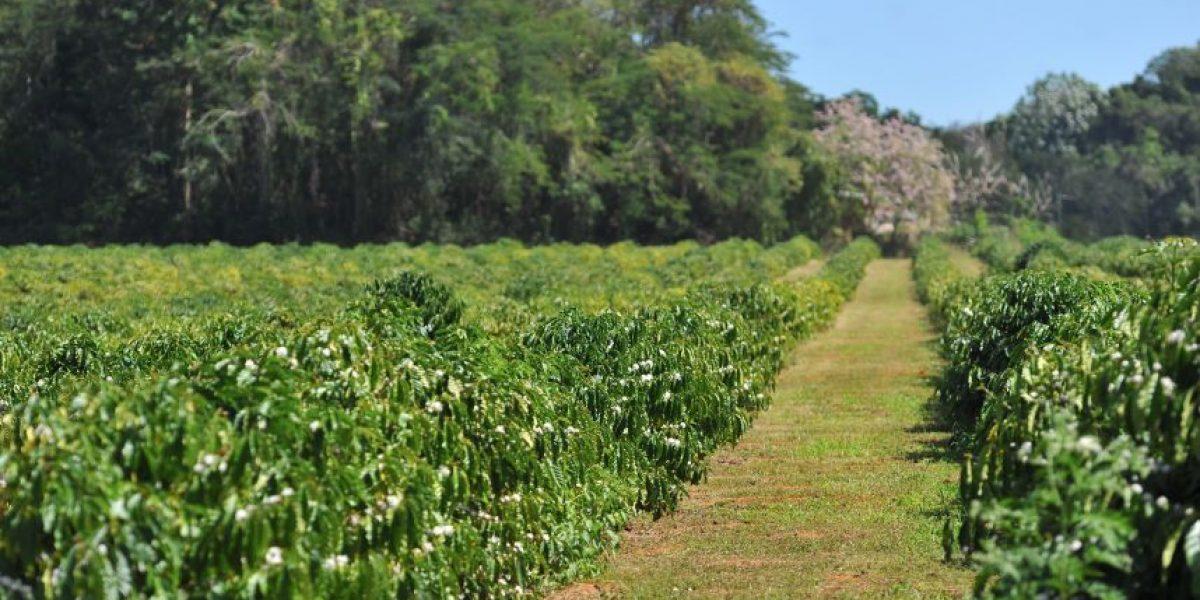 Café Yaucono entregará semillas a caficultores para la siembra de café en PR